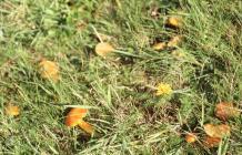 Llanishen Reservoir: Fungi & Autumnal hawkbit