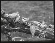 Young Nuthatchers