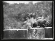 Young Jackdaw with dead rat