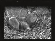 Young Herons in nest