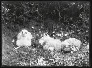 Young Merlins in nest