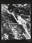 Young Sparrow Hawk