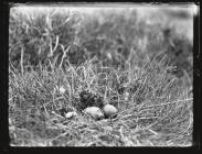 Young stone Curlew and eggs
