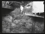 Swallow at nest with young 1953