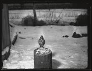 Song Thrush at bird table