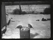 Robins on bird table