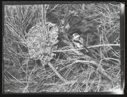 Long-Tailed tit at nest 1955