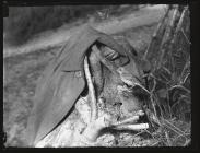 Redstart at nest