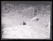 Badger amongst bracken