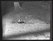 Badger leaving set