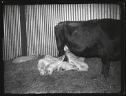 Cow feeding young pigs