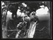 Young little Owls on tree stump