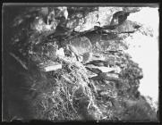 Peregrine Falcon at nest with young (1936)