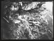 Peregrine at nest with young (1936)