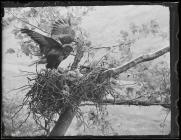 Buzzard at nest with young (1942)