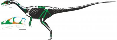 Dracoraptor skeleton diagram