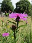 Black Knapweed in the Urban Meadow, National...
