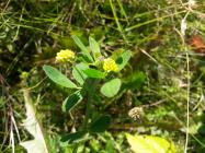 Black Medick in the Urban Meadow, National...