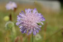 Field Scabious in the Urban Meadow, National...