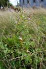 Pale Willowherb in the Urban Meadow, National...