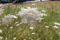 Wild Carrot in the Urban Meadow, National...