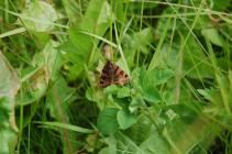 Burnet companion moth on the Urban Meadow,...