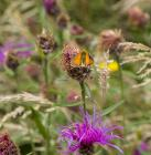 Essex skipper butterfly on the Urban Meadow,...