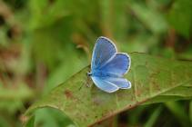Common blue butterfly on the Urban Meadow,...