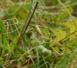 Long-winged Conehead on the Urban Meadow,...
