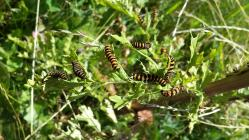 Cinnabar moth caterpillars on the Urban Meadow,...