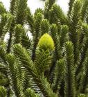 Living Monkey Puzzle cone