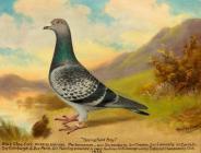 'Springfield Boy' (racing pigeon)