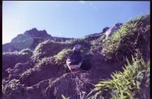 Puffin, Skomer Island