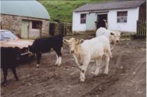 Young cattle in the yard at Gwynnion Llethri