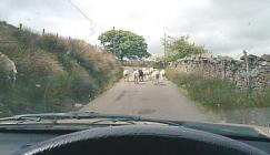 Sheep in the Baran road