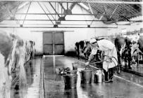 Pantyrhuad big cowshed, c. 1952