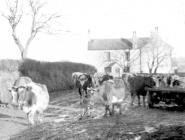 Cows coming in for milking, Pantyrhuad c.1952