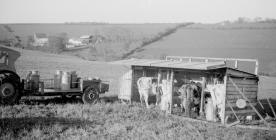 Outdoor bail milking, Pantyrhuad, Spring 1955