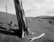 Dead Trees, Cwmystwyth 2010