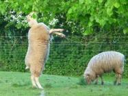Agile Sheep Feeding at Haroldston House,...