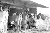 Milking in outdoor bail, Pantyrhuad, summer 1955