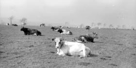 Cows resting, Pantyrhuad summer 1953