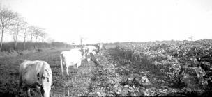 Dairy cows strip grazing, Pantyrhuad c....