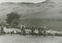 Sheep Driving in Nantrwch