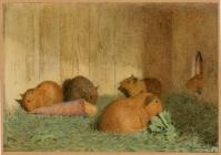 'Guinea pigs' by unknown