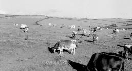 Dairy herd at Pantyrhuad, St. Clears,...