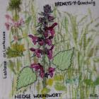 Hedge Woundwort by Annette Gregory