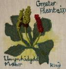 Greater Plantain by Karen Craig