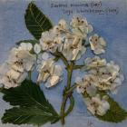 Ley's Whitebeam by Liane Fairall