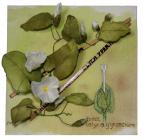 Hedge Bindweed by Marilyn Caruana